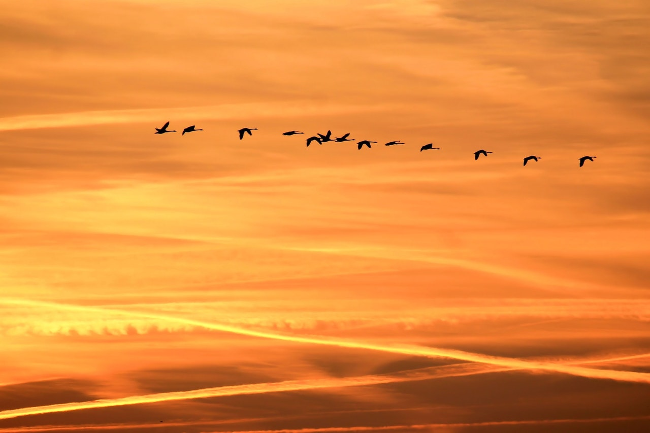 Silhouette of a flock of birds